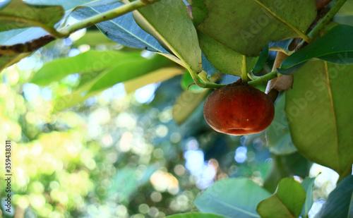 Fototapeta Velvet apple fruit or bisbul grow on tree.