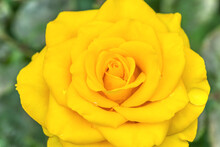 An Open, Incredibly Beautiful Yellow Rose In A Garden Close-up.