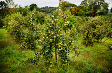 Green Apples Growing At An Apple Orchard