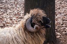 Portrait With A Big Horn Ram