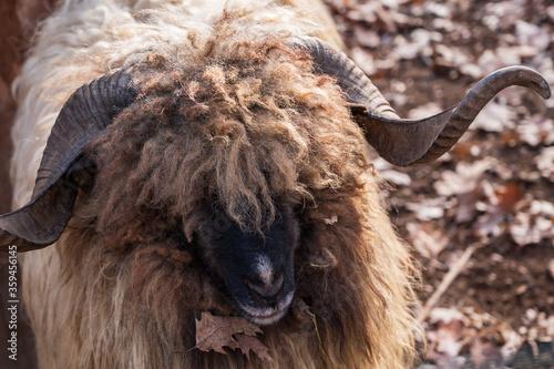 Fotografiet portrait with a big horn ram