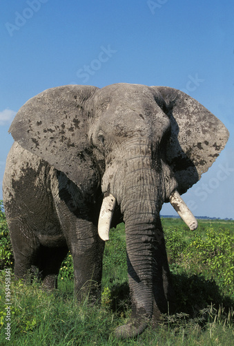 ELEPHANT D'AFRIQUE loxodonta africana Wallpaper Mural
