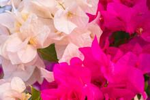 Fresh Lot Of Pink Allamanda Fl...