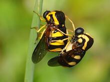 Flies Mating (Cyrtus Gibbus)