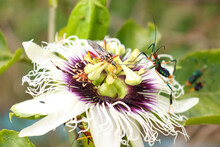 Multicolored Insect Landing On A Passion Fruit Flower. Approximate Photo Of Insect, Green Garden Background