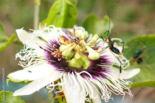 Multicolored insect landing on a passion fruit flower Canvas Print