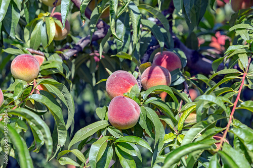 Photo Peaches ready for harvest in the garden, Turkey
