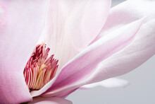 Magnolia Liliiflora Flower, Li...