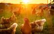 canvas print picture - glückliche Hüner in Freilandhaltung auf einer Wiese im Sonnenuntergang