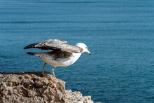 Close Up Of A Young Seagull At The Point Of Flying Away