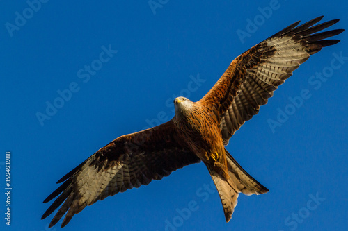 Red Kite, Oxfordshire, January 2016 Canvas Print