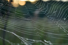Cobwebs In The Woods At Dawn