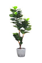 Artificial Fiddle Leaf Fig Or Ficus Lyrata In Pot Isolated On White