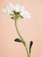 White Flower On Light Pink Bac...