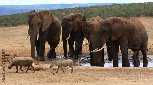 Fotomural Port Elizabeth, Eastern Cape / South Africa - 01/03/2010: Warthogs run past elep