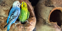 Kissing Budgerigar (Melopsitta...