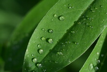 Raindrops On Green Leaves In T...