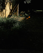 Orange Lilies In The Garden, Isolated Black Background
