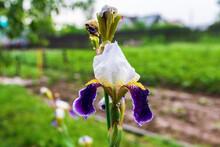 Iris Flower In The Garden After The Rain