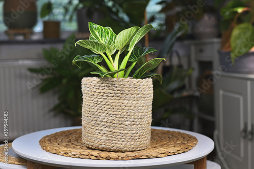 Fotografie, Obraz Tropical 'Philodendron Birkin', a tropical houseplant with white stripes in natu