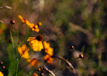 Coreopsis Tinctoria Growing Wild In Eastern Oklahoma.