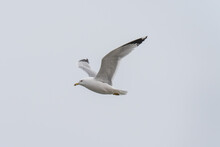 A Seagull In Flight Past The Camera With Wings Upon A Flat Grey Sky