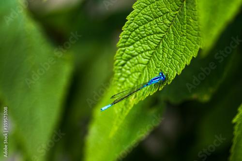 Common blue damselfly in the New York Botanical Garden