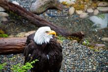 American Bald Eagle On A Log