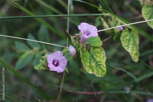 Photo bunga terompet