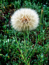 Puffy Cap Of The Seed Head Of The Yellow Goatee, A Plant With The Latin Name Tragopogon Pratensis