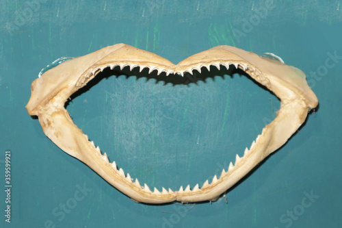 Shark jaw on the wall. shark teeth and fangs - sea trophy. Poster Mural XXL