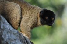 Lemur In Madagaskar