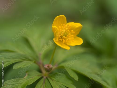 Fototapeta Einzelne Pflanze des gelben Windröschens (Anemone ranunculoides) mit aufgeblühter gelber Blüte und Blick auf die Staubblätter. obraz na płótnie