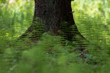 Photo Of Wood Horsetail (Equi...