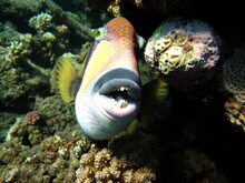 Titan Triggerfish. Fish - A Ty...