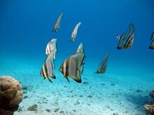 Longfin Batfish. Fish - Bonefi...