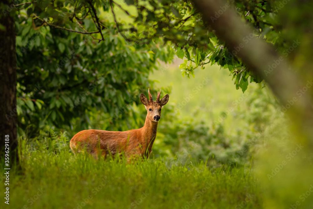 Fototapeta Roebuck on a green meadow