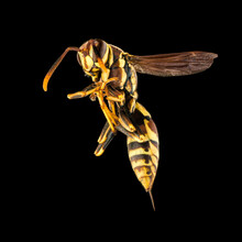 Wasp On A Black Background