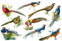 Set Of Colorful Birds, Pheasan...