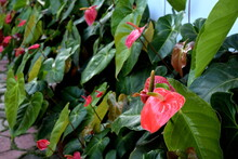 Red Anthurium Flower In The Garden