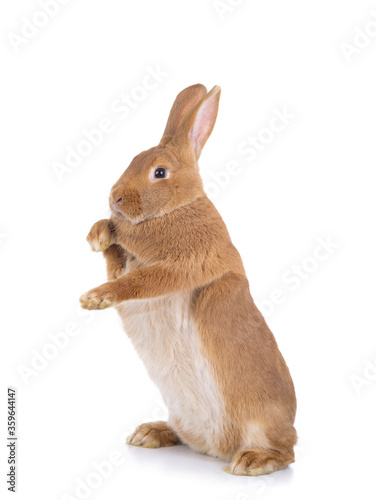 Fotografie, Tablou Brown rabbit stands on its hind legs on a white background.