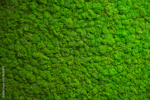 Fototapeta Close up green moss texture, background. Green texture