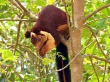Malabar Giant Squirrel Or Indi...