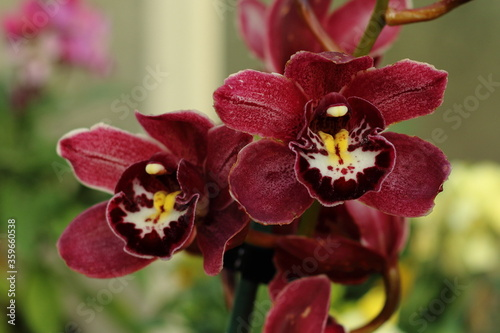 Photo Orchids, at The Wintergarden, Auckland, New Zealand