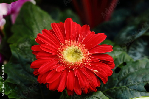 Red Gerbera Daisy, at The Wintergarden, Auckland, New Zealand Canvas-taulu
