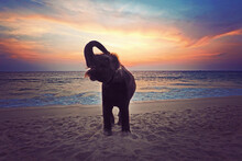 Happy Elephant Standing On The Beach In Phuket Thailand