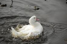 White Goose Splashing In The W...