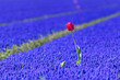canvas print picture - Selective focus of beautiful one single wild red tulip in between the purple flowers, Meadow of Muscari armeniacum during spring season, Nature floral background, Tulips festival in Netherlands.