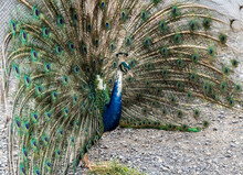 Peacocks Fanned Out Peacock Feathers (Indian Peafowl)