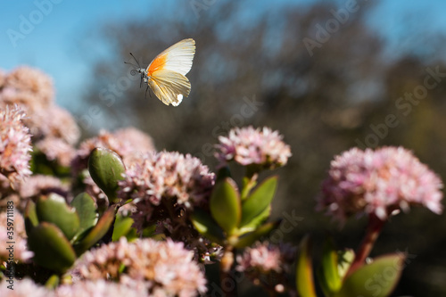 Butterfly in mid-air flying from flower to flower to drink nectar